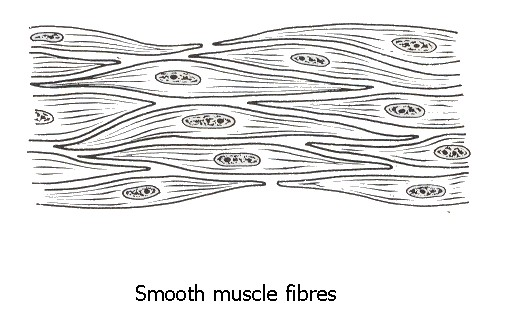Drawing Smooth Lines Photo : The muscle tissue