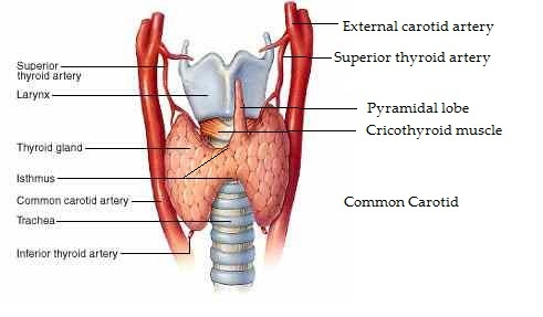multiple choice questions on thyroid gland, Human Body
